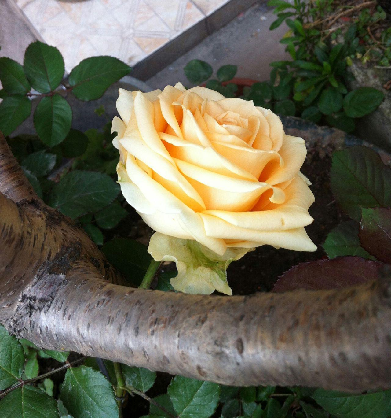 Flower Sunshine Leaves🌿 Yellow Rose