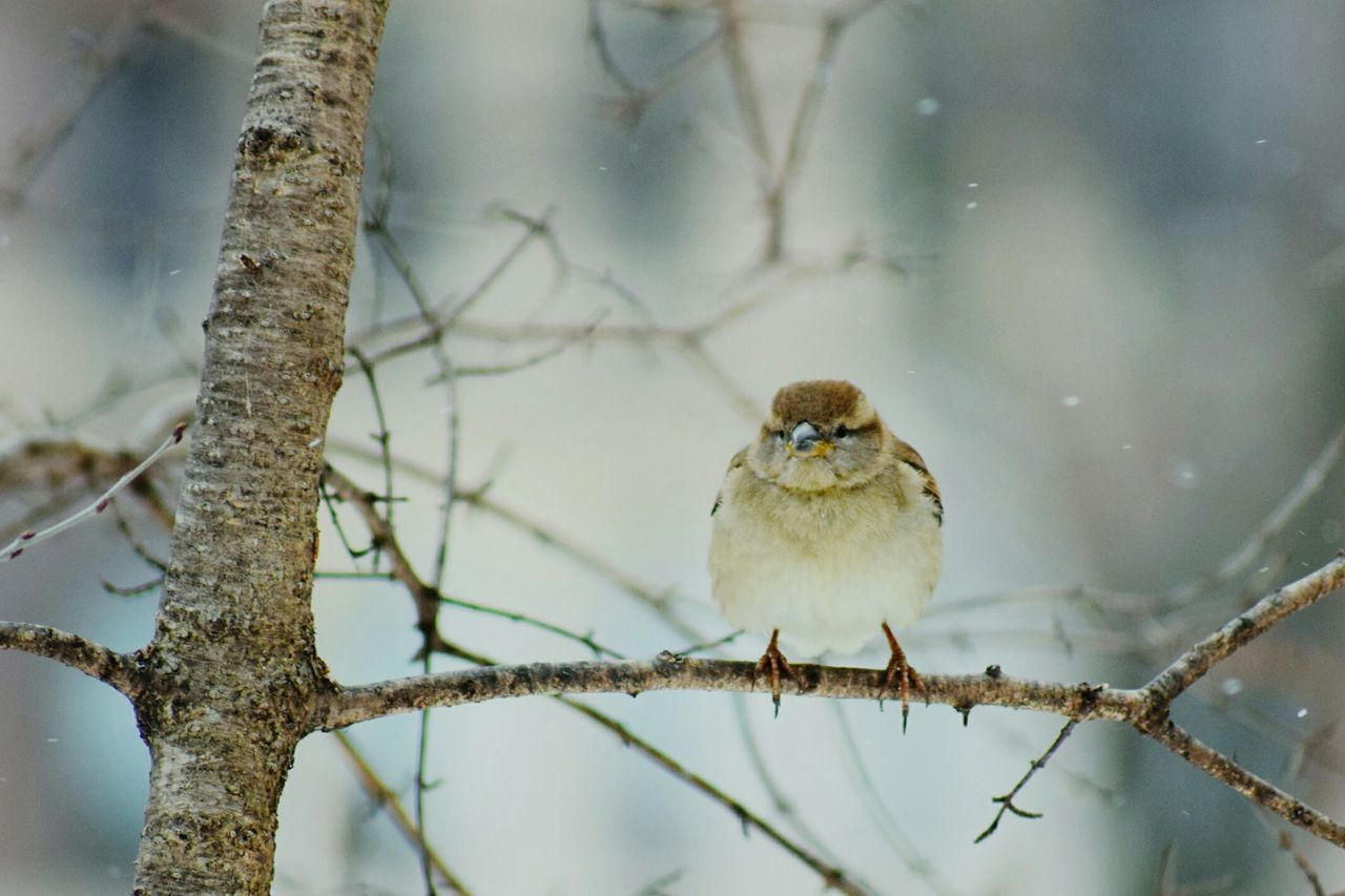 Animal Wildlife Bird Perching Winter Animals In The Wild Branch Tree One Animal No People Beauty In Nature Animal Nature Animal Themes Snow Mourning Dove Outdoors Day Chilling Winter Love Bird In Park Central Park, New York Beauty In Nature Tree Trunk Nature Animals In The Wild