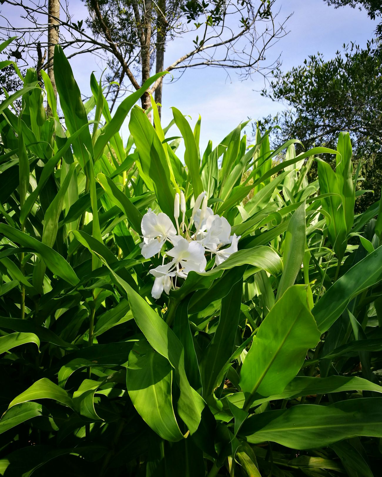 Escobar Paraguay ♥ Paradise Flower Green Color No People Fragility Fresh Nature Plant Non Filter Whiteflower
