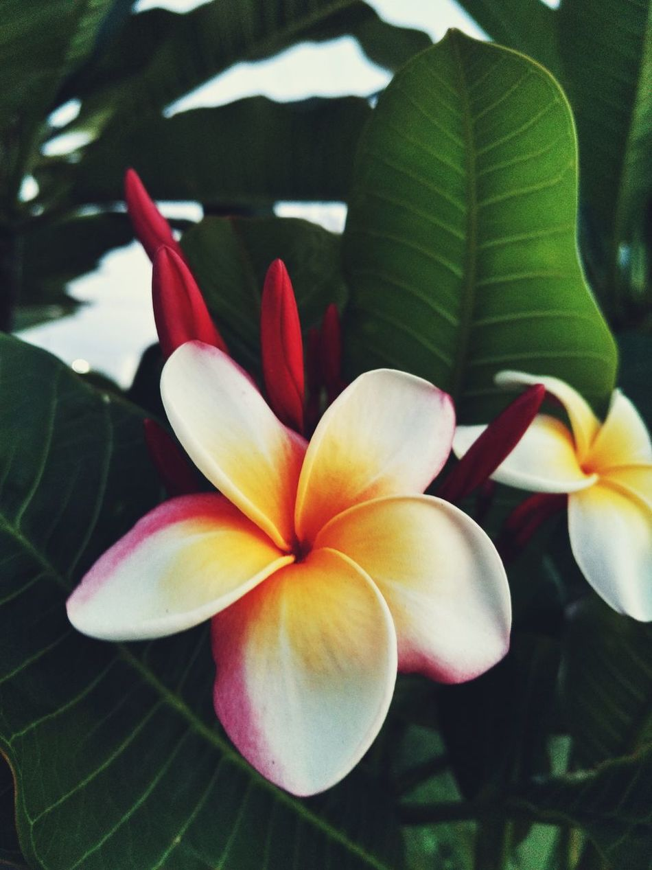 Beauty In Nature Black Background Flower Nature Fragility Flower Head Freshness No People Frangipani Growth Plant Close-up Petal Beauty Indoors  Day