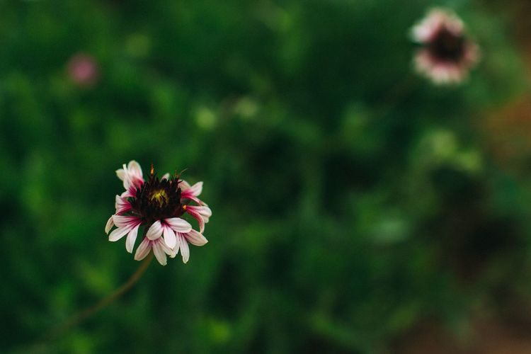Flower Fragility Petal Flower Head Nature Growth Freshness Beauty In Nature Focus On Foreground Blooming No People Plant Day Outdoors Close-up Zinnia  White Green Garden