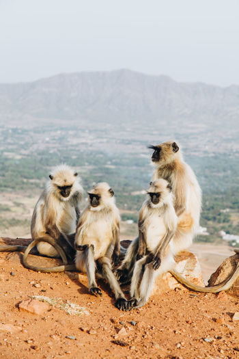 Animal Themes Animal Wildlife Animals In The Wild Beauty In Nature Day Family Friends Gray Langur India Mammal Monkeys Mountain Nature No People Outdoors Pushkar Scenics Togetherness