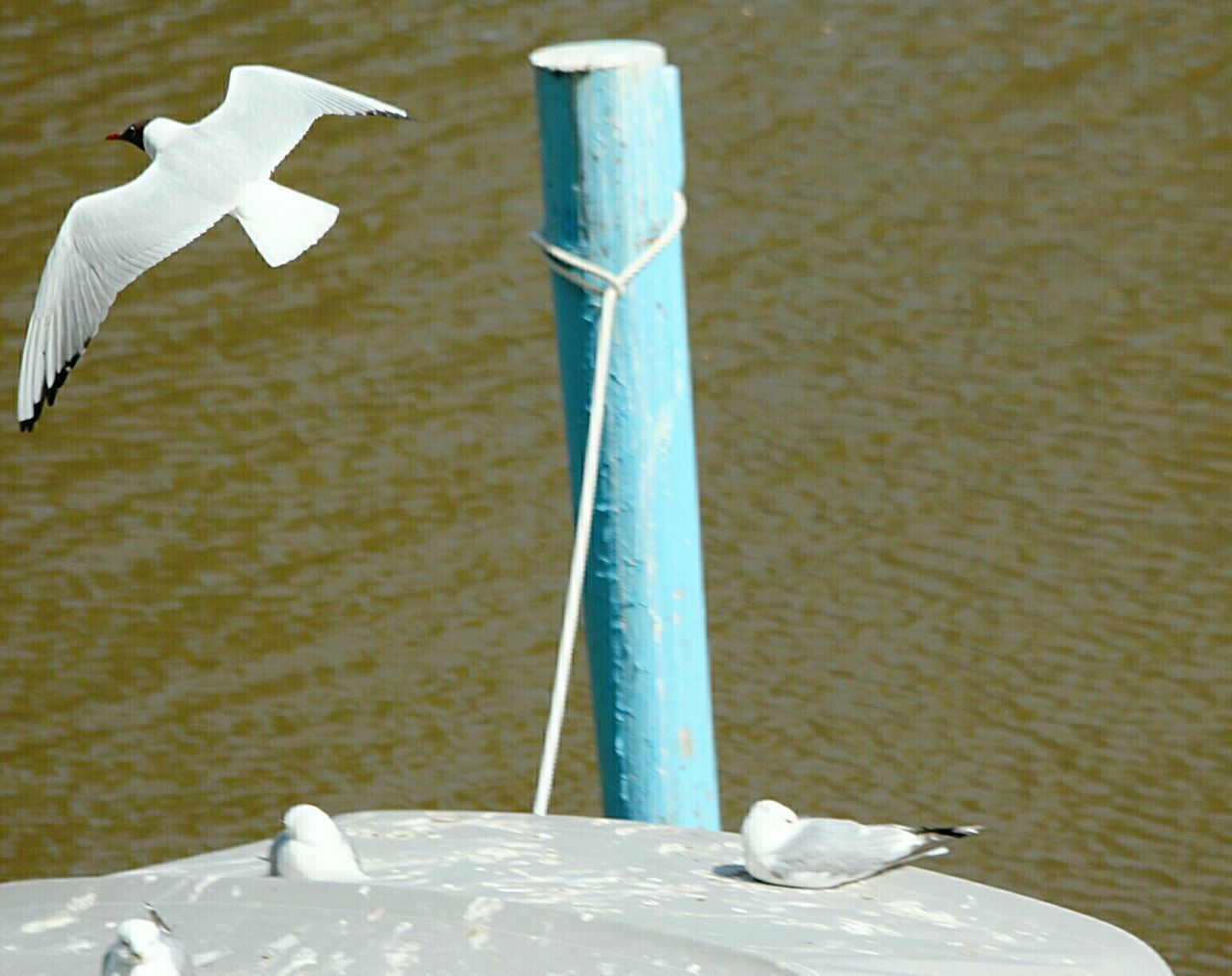 Seagull Seagulls In Flight Seagulls City Summer2016 Urban Birds Summer Time  Finland Summer Turku Aurajoki Aura River Black Headed Gull Blackheaded Gull Laughing Gulls Laughing Gull Gulls In Flight Finland