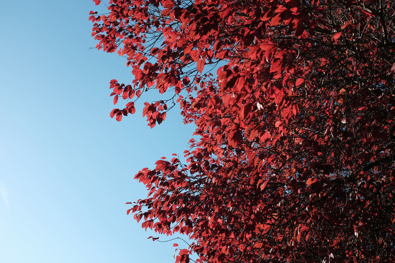 Low Angle View Of Autumn Tree Against Clear Sky