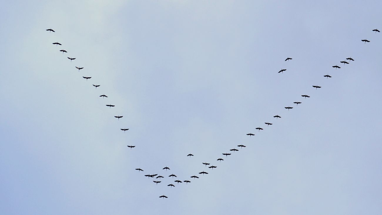 Birds🐦⛅ Flock Of Birds Flying Large Group Of Animals Bird Animals In The Wild Animal Wildlife Animal Themes No People Togetherness Mid-air Nature Outdoors Sky Beauty In Nature Day Flying To South Geese In Flight Kreativ CaptureTheMoment