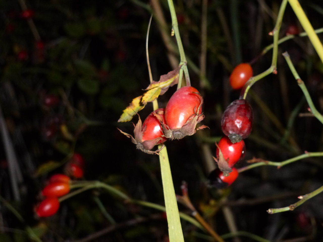 red, nature, growth, food and drink, rose hip, beauty in nature, growing, fruit, plant, outdoors, freshness, close-up, no people, food, day