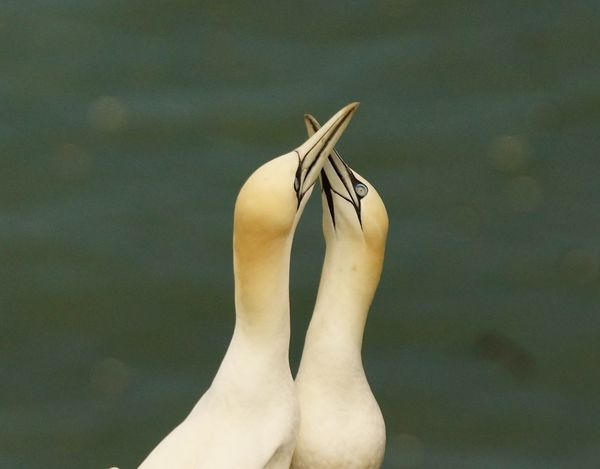 gannets with crossed beaks Beaks Crossed Birds On Cliff Top Eyes Open Gannets Mating Long Necks Sea Bokeh White Color Yellow Heads