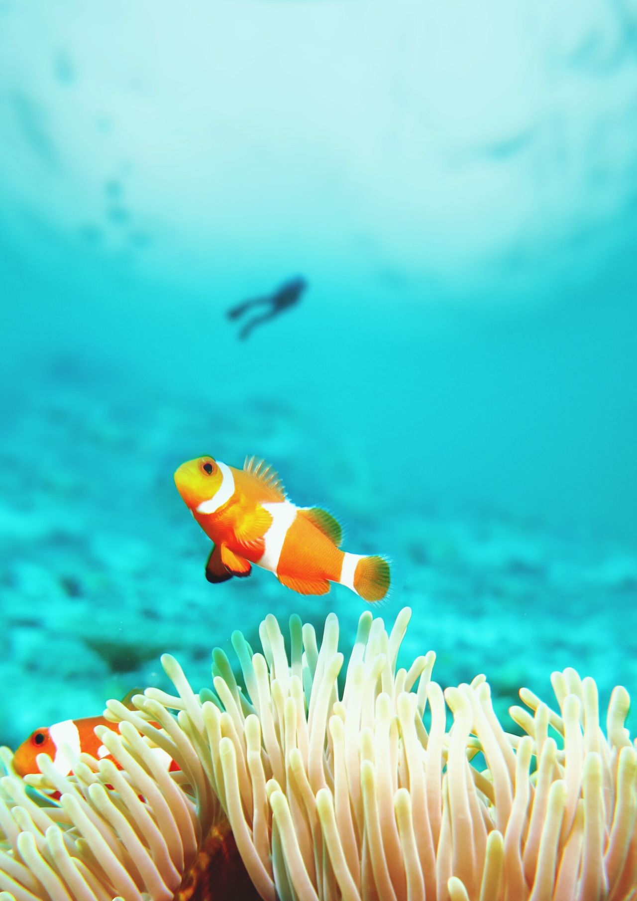 Beautiful stock photos of fisch, Animal Themes, Animal Wildlife, Beauty In Nature, Clown Fish
