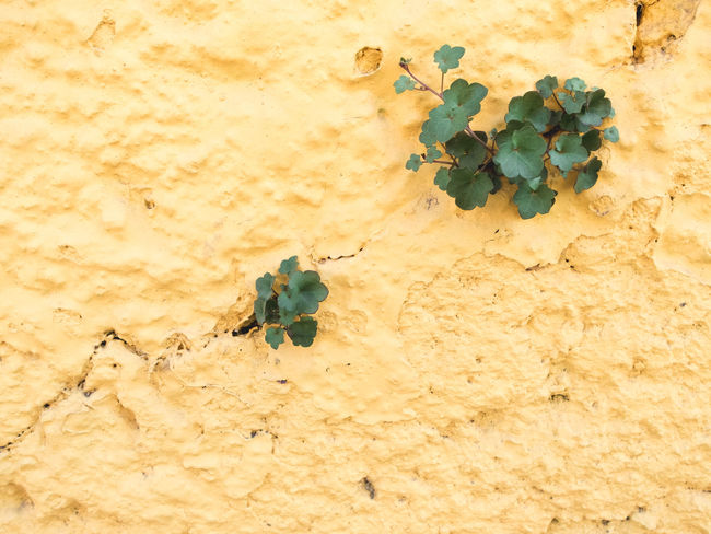 Adversity Close-up Detail Fragility Freshness Full Frame Green Growing Growth Leafs Odds Against Part Of Pastel Colors Pastel Power Plant Small Tiny Yellow Color