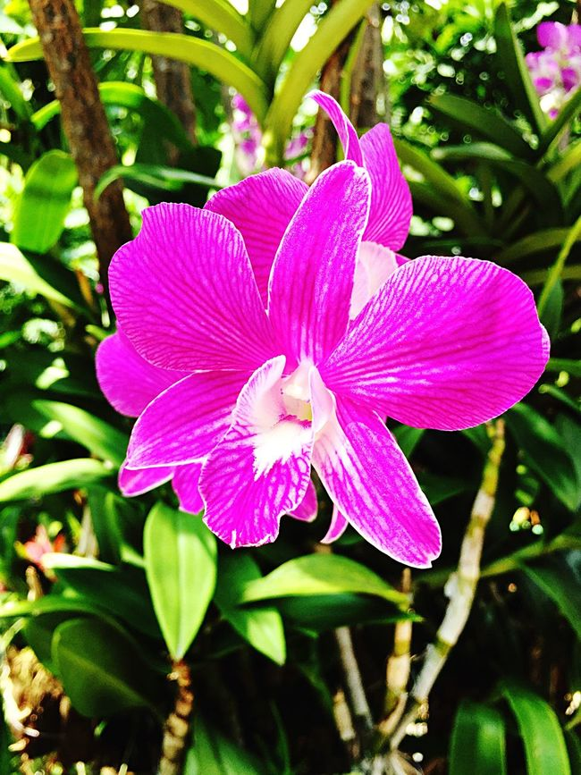 Flower Petal Orchid Orchids Orchid Blossoms Purple Fresh Vibrant Nature Flower Head Fragility Single Flower In Bloom Tropical Plants Tropical Close-up Focus On Foreground Pink Color Beauty In Nature IPhone IPhoneography Blooming Vegetation