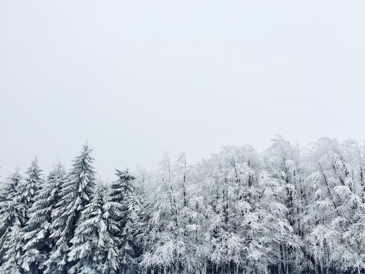 Minimalistic landscape of trees covered in snow Winter Snow Cold Temperature Nature Copy Space Tree Weather Beauty In Nature Tranquil Scene Scenics Tranquility Clear Sky Outdoors Forest Non-urban Scene Day No People Wilderness Area Snow Trees Evergreen