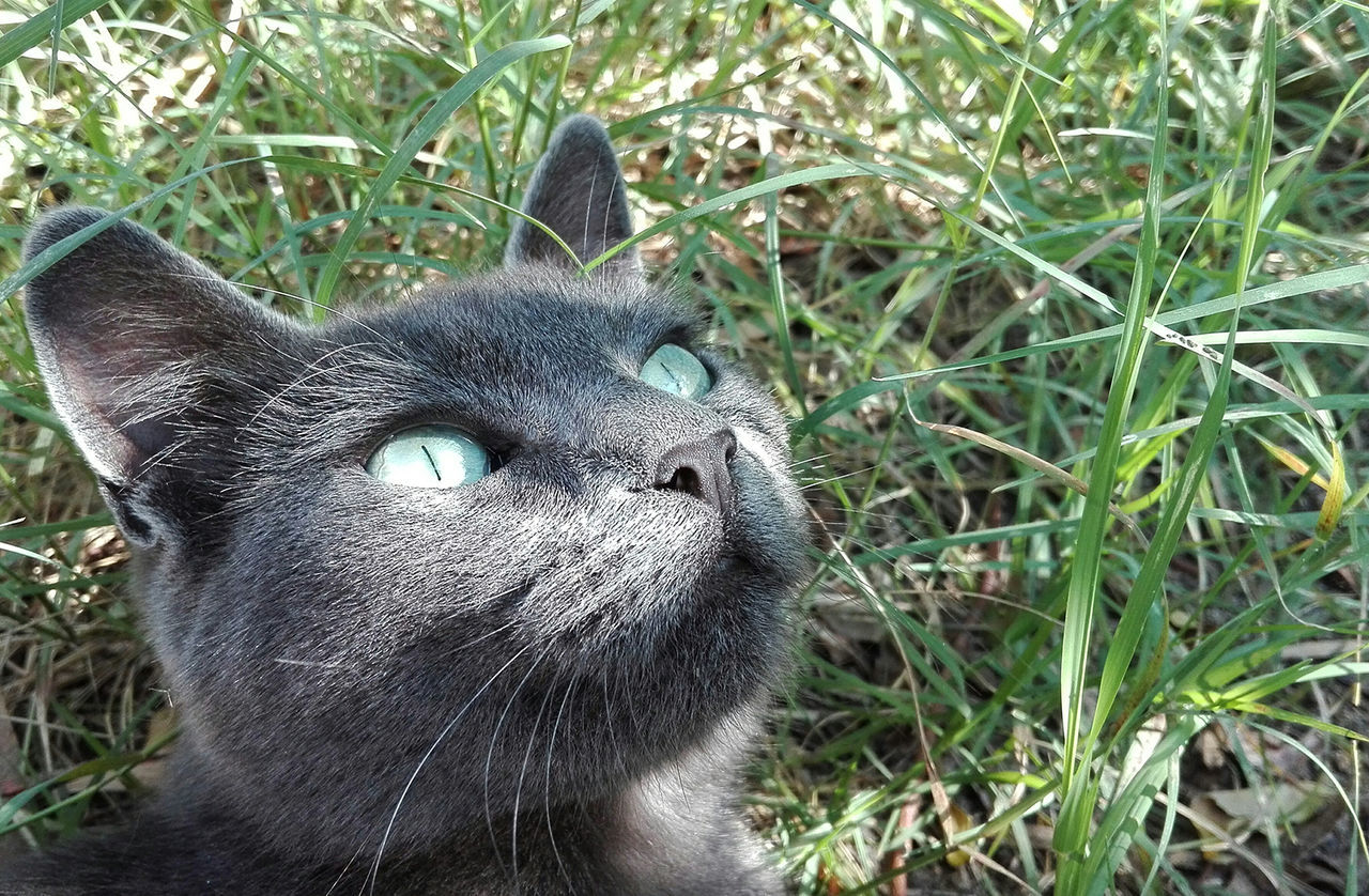 Eyes Beauty In Nature Animals In The Wild Sun Cats No People Feline Like Nofilter Cute Pets Cat First Eyeem Photo HuaweiP8 10MP Russian RussianBlue Katerina