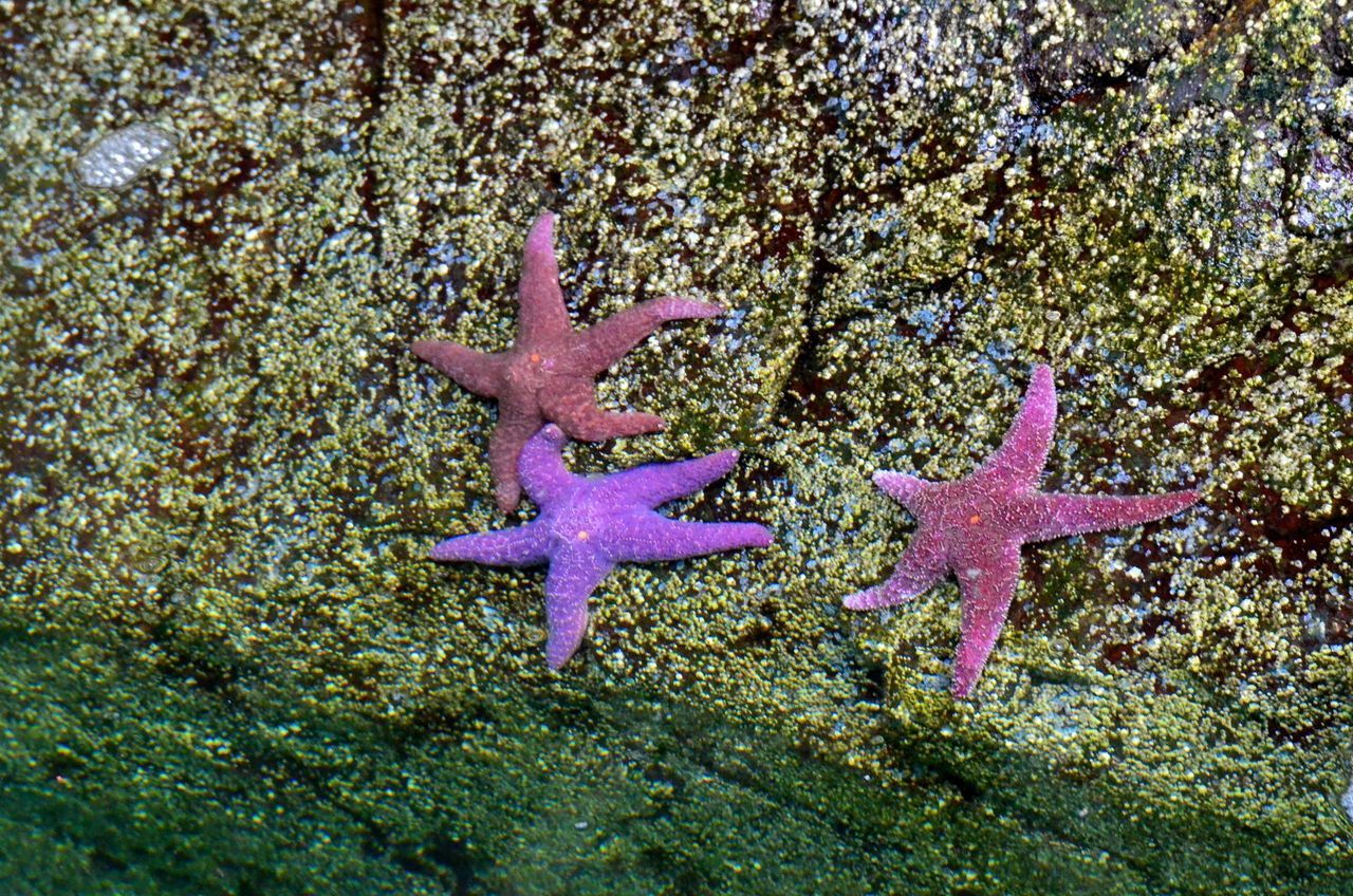starfish, star shape, sea life, animals in the wild, animal themes, wildlife, one animal, nature, beach, sea, no people, animal wildlife, water, day, beauty in nature, outdoors, undersea