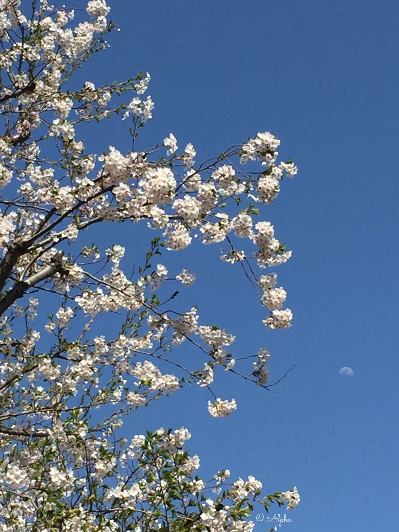 Cherryblossom Moon Cherry Tree Beauty In Nature Clear Sky Blue Sky Flower Flower Collection Springtime Spring EyeEm Flower EyeEm Nature Lover EyeEmFlower Flowers_collection Tree_collection  Treescollection Flowerandsky Flowerlovers Nature_collection Springflowers
