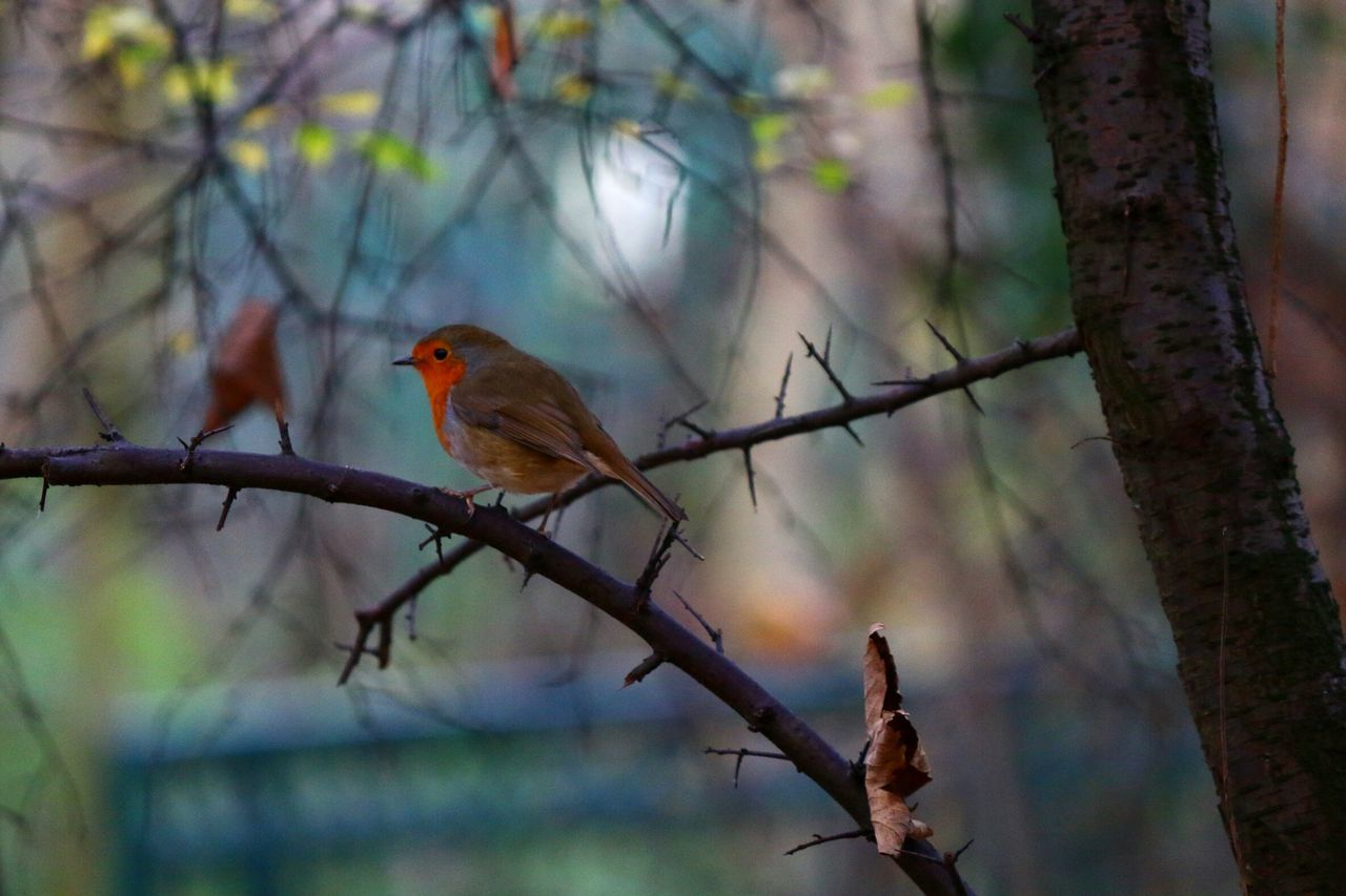 Robin Robin Redbreast Bird Animals In The Wild Animal Themes Animal Wildlife Nature One Animal Autumn Nature_collection Close-up Beauty In Nature Tree