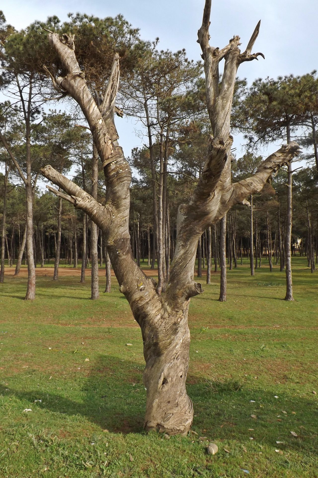 Arbre Morte Arbres Beauty In Nature Day Foret Grass Herbre Landscape Nature No People Ombre Outdoors Paysage Sky Terre Tree Tree Trunk