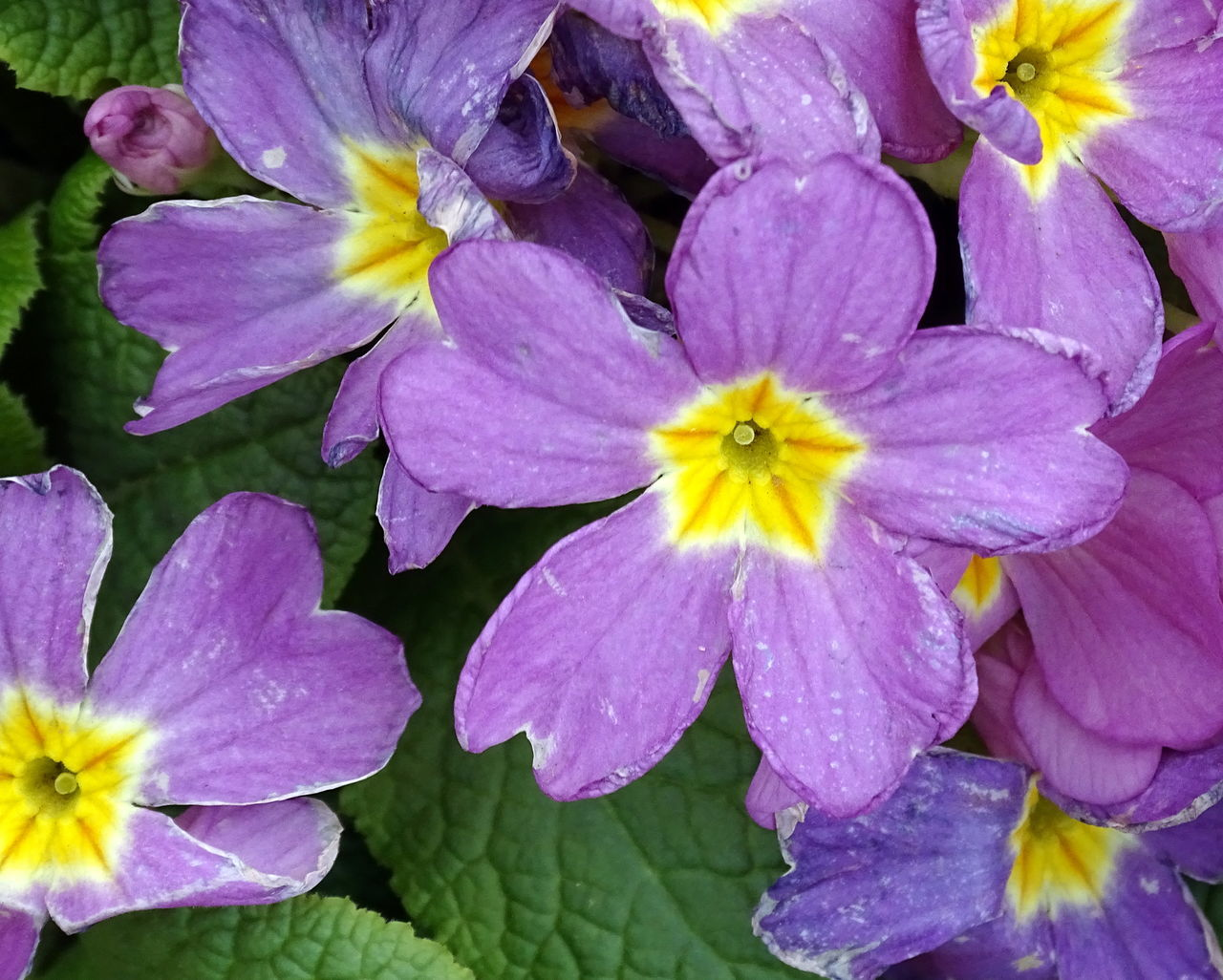 Beauty In Nature Blooming Close-up Day Flower Flower Head Fragility Freshness Growth Nature No People Outdoors Petal Primrose Purple