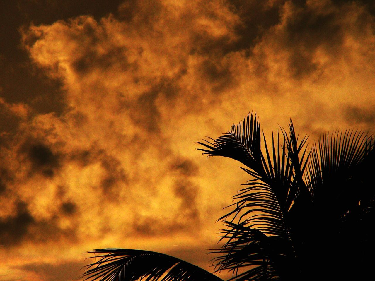 Silhouette of coconut palm tree leaves against fiery sunset sky. Silhouette Silhouette Of Leaves And Red Sky Fiery Sunset Fiery Fiery Sky Fiery Skies Fiery Evening Orange Sky Red Sky At Sunset Sunset Silhouettes Dramatic Sky Dramatic Clouds Dramatic Edit Dramatic Sunset Painting Goa Monsoon Sky Goa India Silhouettes And Shadows Nature Is Art Evening Warm Colors Burning Sky Coconut Tree Leaves Drastic Edit