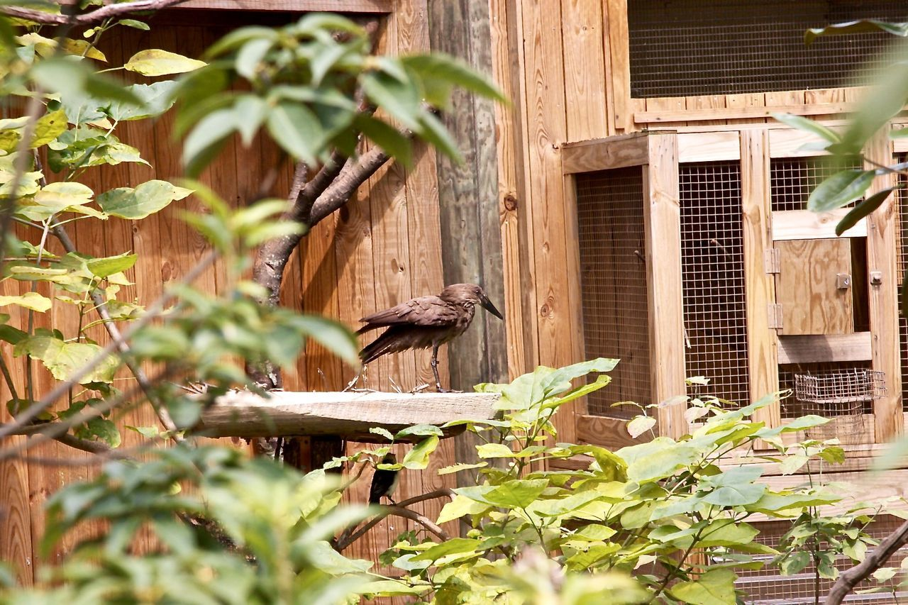 one animal, plant, animal themes, outdoors, wood - material, leaf, animals in the wild, no people, building exterior, day, growth, built structure, architecture, bird, nature, mammal, tree, perching