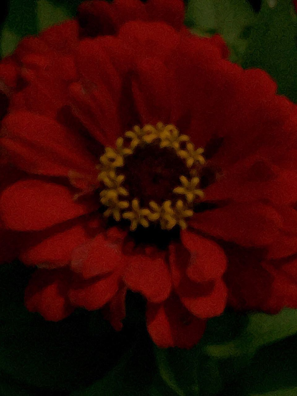 flower, petal, beauty in nature, nature, flower head, growth, fragility, red, blooming, freshness, plant, no people, zinnia, close-up, outdoors, day