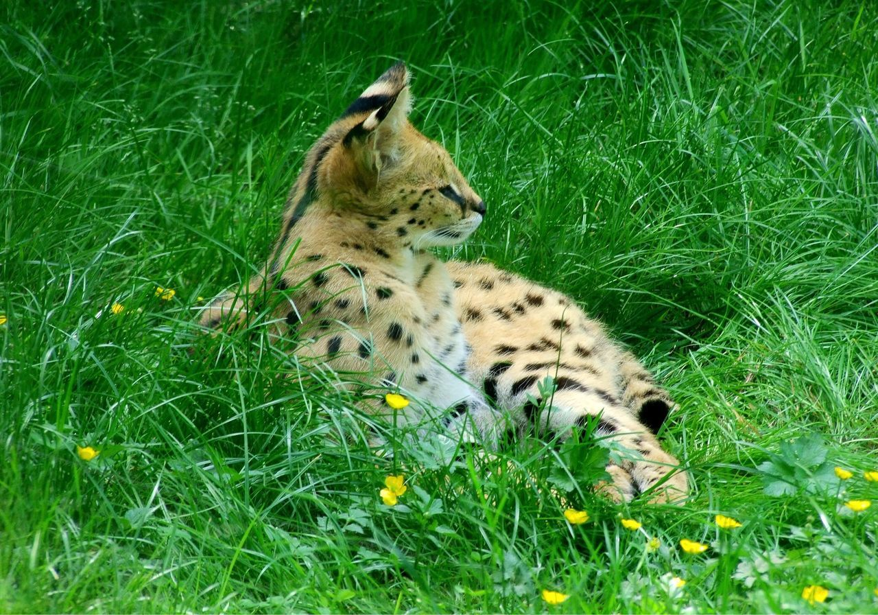 Baby Animals Rest Rest & Relax Lynx Baby Lynx Animals Animal Photography Animal Animal Themes Animals In The Wild Animal_collection Animallovers Green Grass Flowers Yellow Yellow Flower