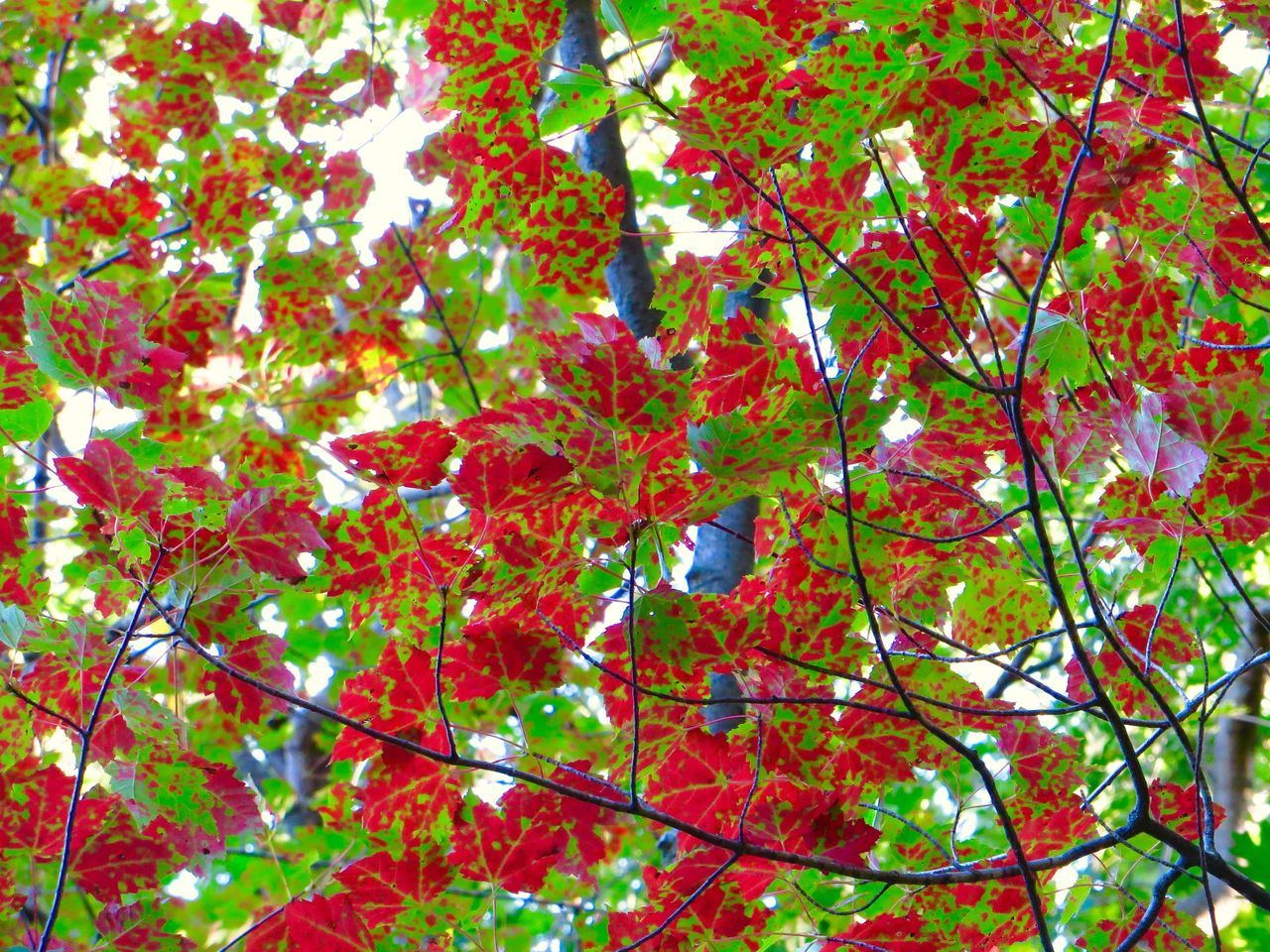 leaf, tree, branch, growth, low angle view, nature, beauty in nature, day, outdoors, no people, red, backgrounds, autumn, freshness, fragility, close-up, sky