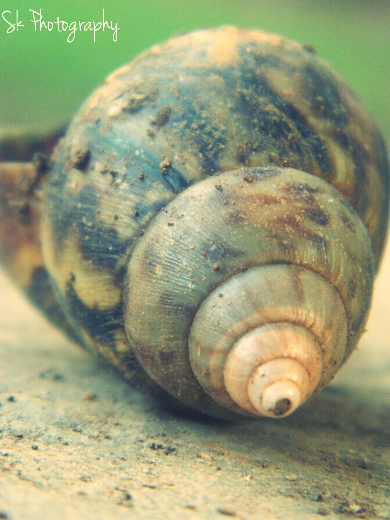 Dorsal view of a gastropod shell ? Taking Photos Photography Outdoors Nature Terrestrial Gastropod Mollusc Snailshell Snail🐌 Snail Collection