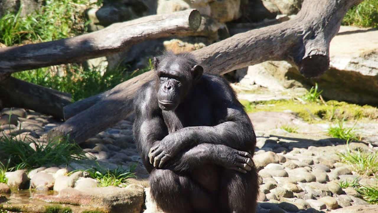 animals in the wild, one animal, mammal, animal wildlife, no people, gorilla, animal themes, nature, outdoors, day, sitting, tree, close-up