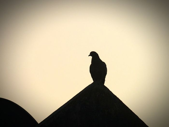 bird Silhouette sunrise Bird Silhouette Sky Outdoors Animal Wildlife Perching One Animal Animal Themes No People Beauty In Nature Nature Animal Rooftop Shadow
