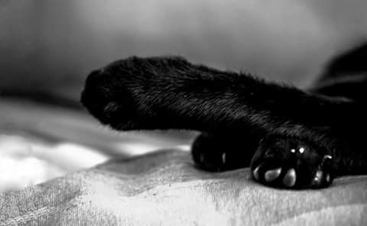 one animal, animal themes, domestic animals, pets, no people, close-up, mammal, domestic cat, indoors, paw, feline, day