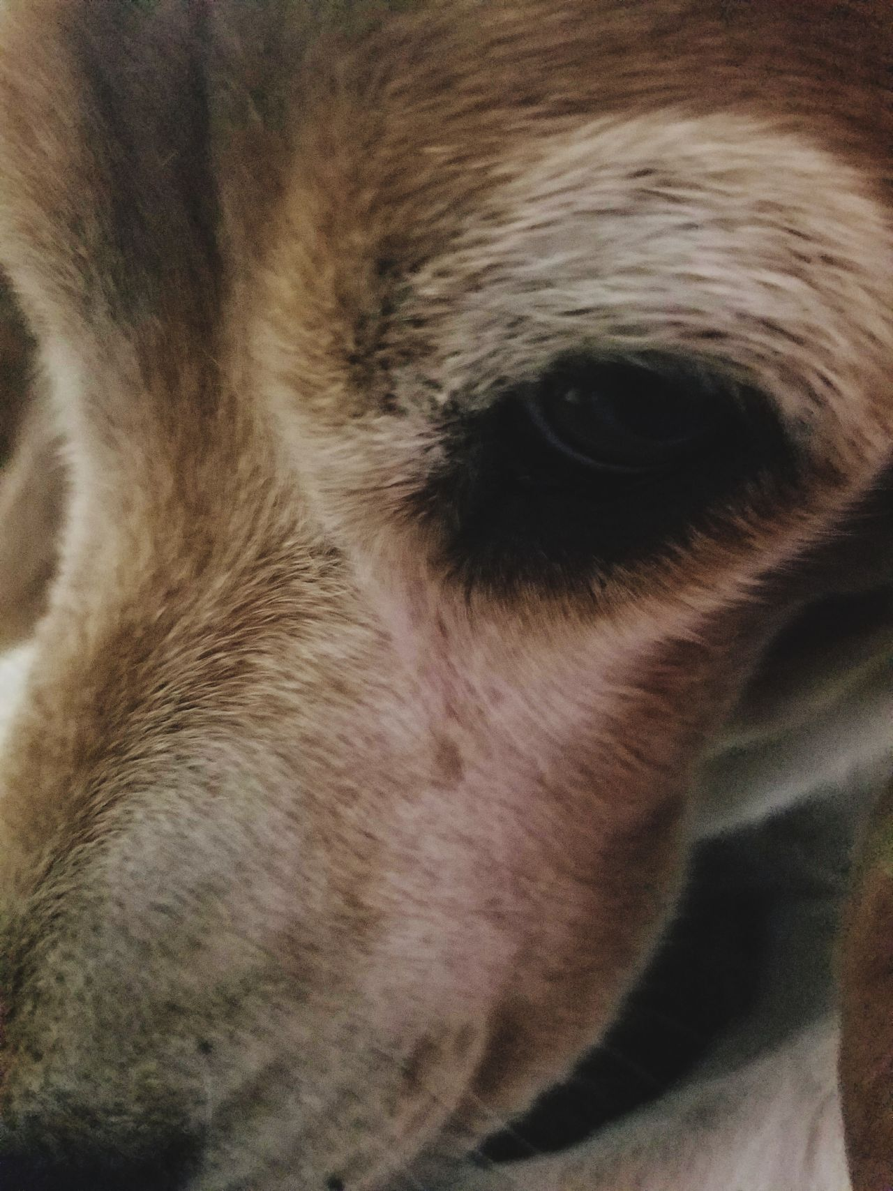 Close-up Full Frame Human Body Part One Person Backgrounds One Man Only Adult Adults Only Only Men People Day Beagles  Beaglelovers Beagle Dog Beagle Love Dog❤ Dog Love Dogs Of EyeEm Dog Portrait