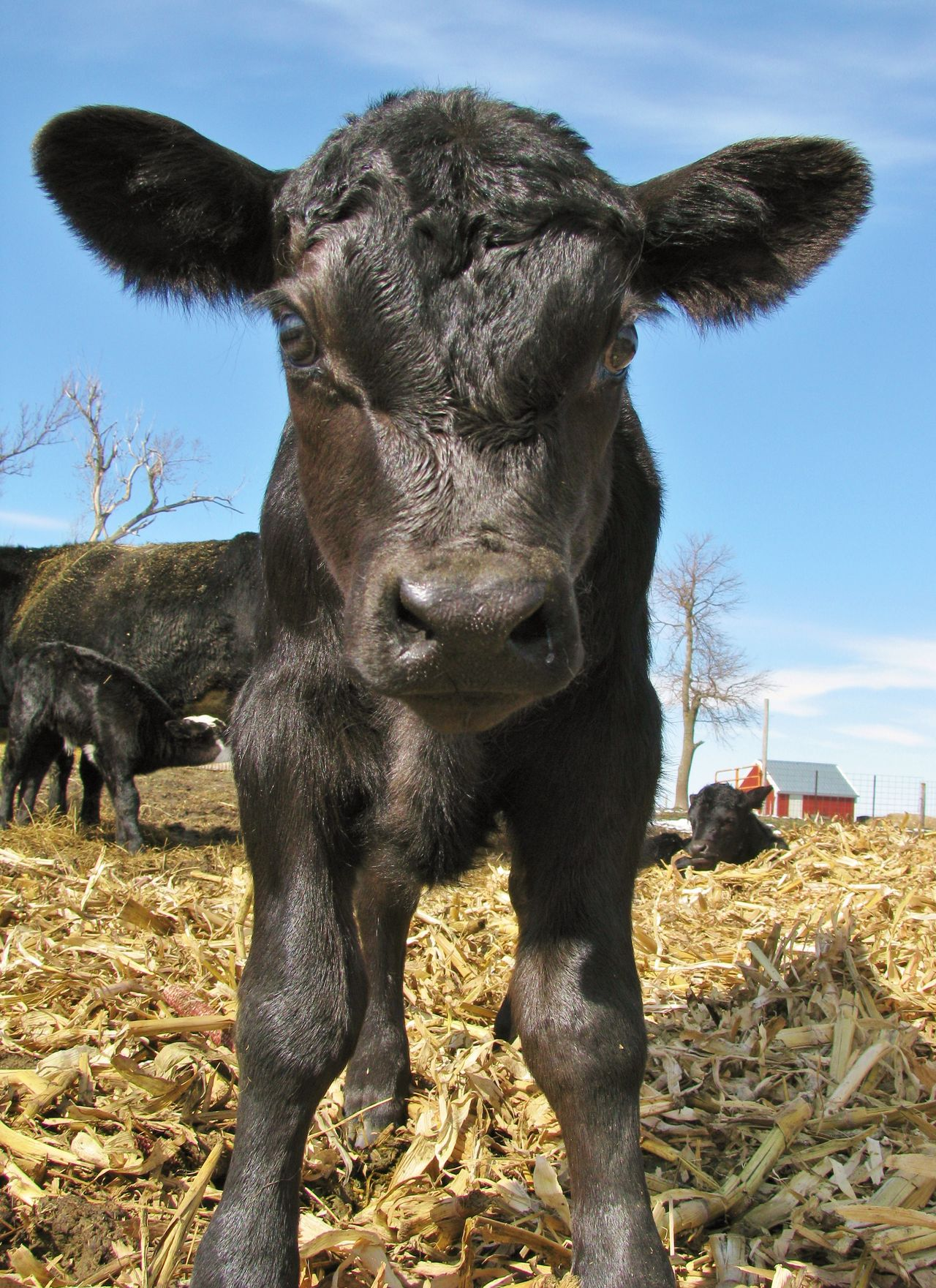 Curious Calf Agriculture Animal Black Black Angus Blue Sky Calf Canonphotography Cattle Cow Domestic Animals Farm Livestock Low Angle View Ranch Spring Young