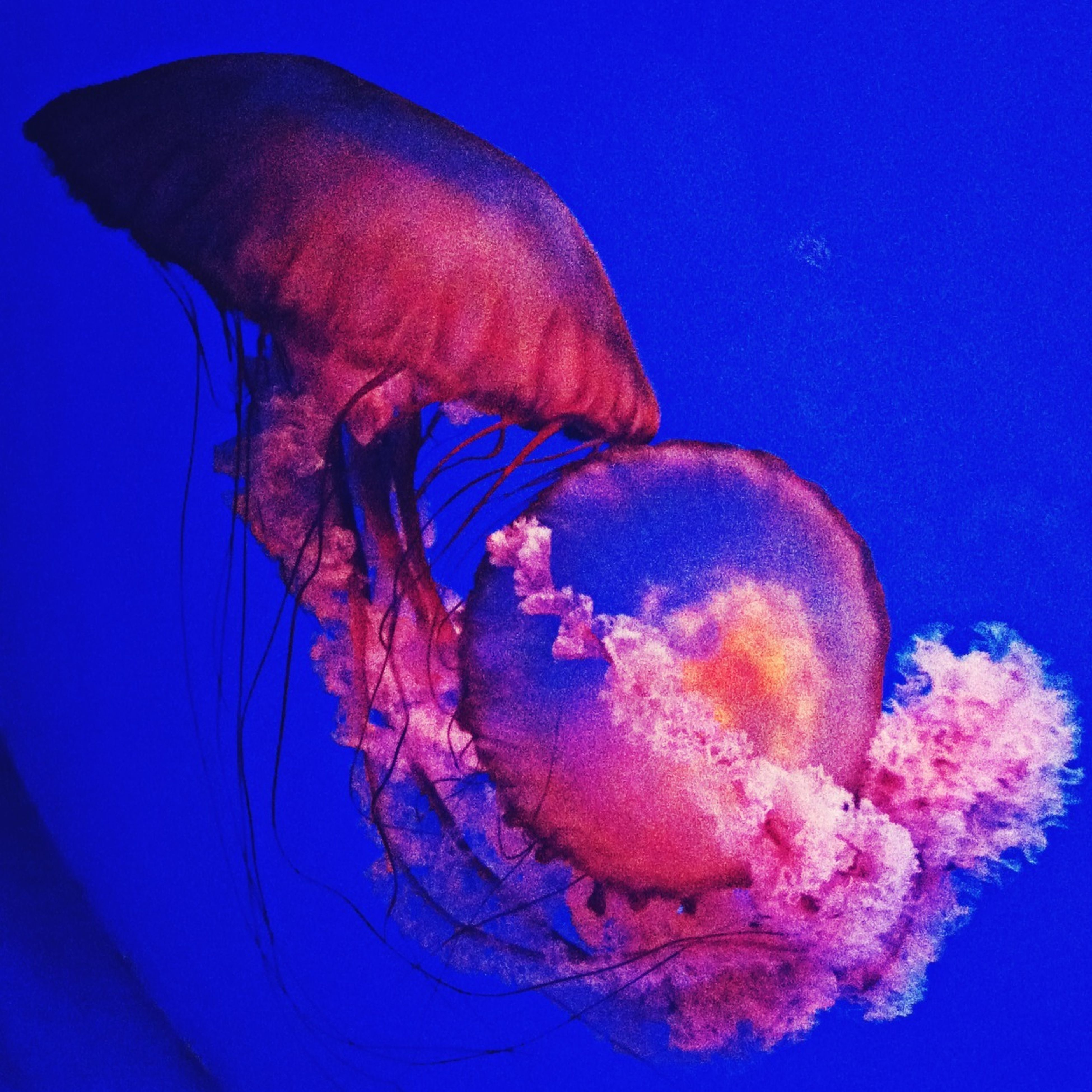animal themes, blue, one animal, swimming, animals in the wild, underwater, wildlife, water, sea life, jellyfish, close-up, one person, fish, undersea, animals in captivity, two animals, reflection, full length, nature, outdoors