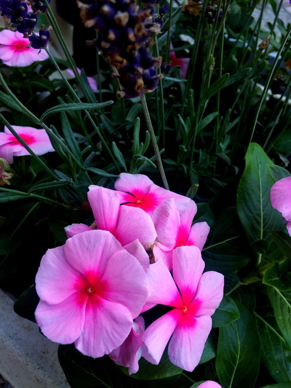 flower, petal, growth, flower head, plant, beauty in nature, no people, nature, fragility, blooming, pink color, outdoors, day, close-up, freshness, periwinkle, petunia