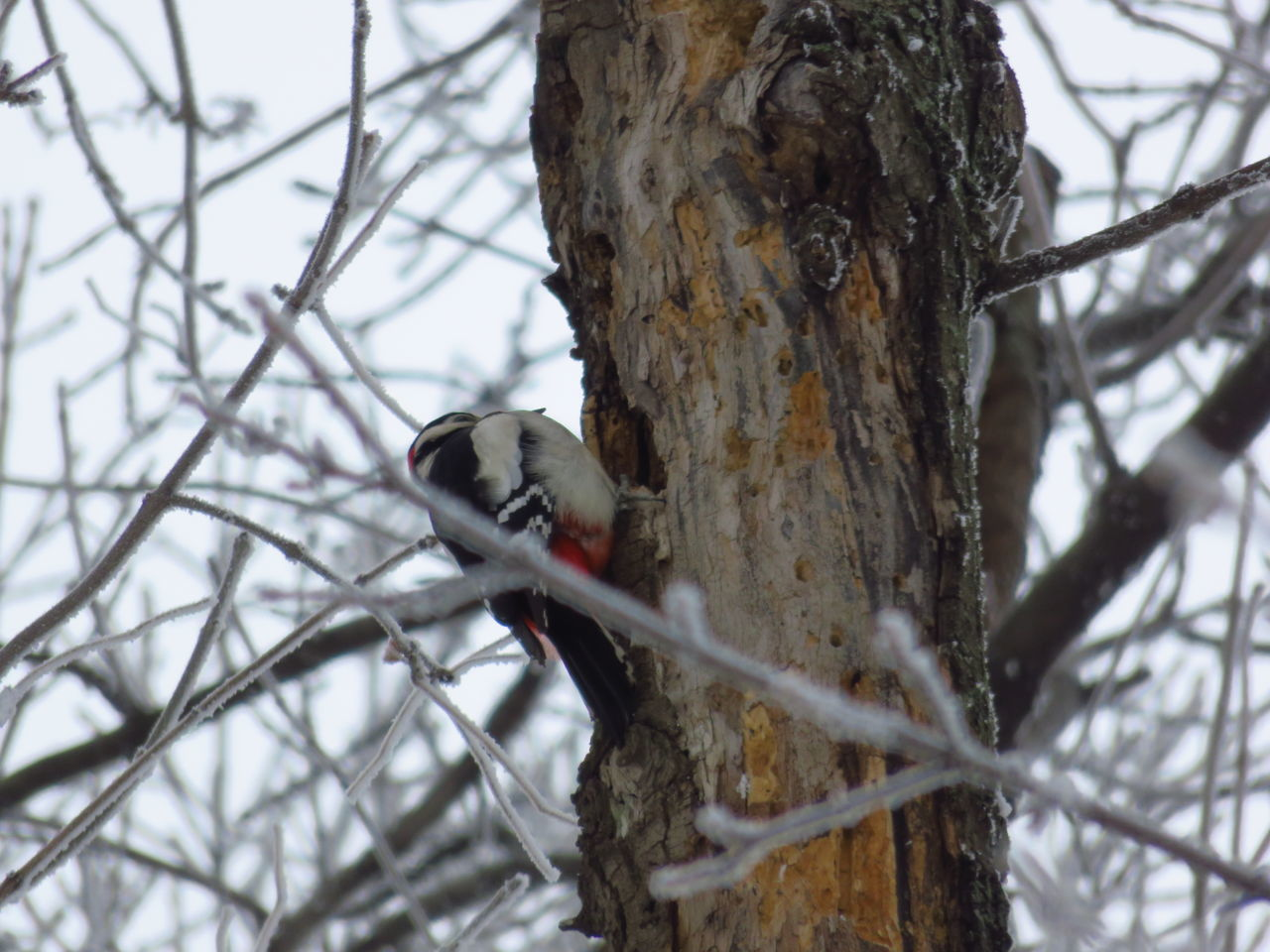 Animal Themes Animal Wildlife Animals In The Wild Bare Tree Bird Branch Day Low Angle View Nature No People One Animal Outdoors Perching Tree Tree Trunk Winter Woodpecker