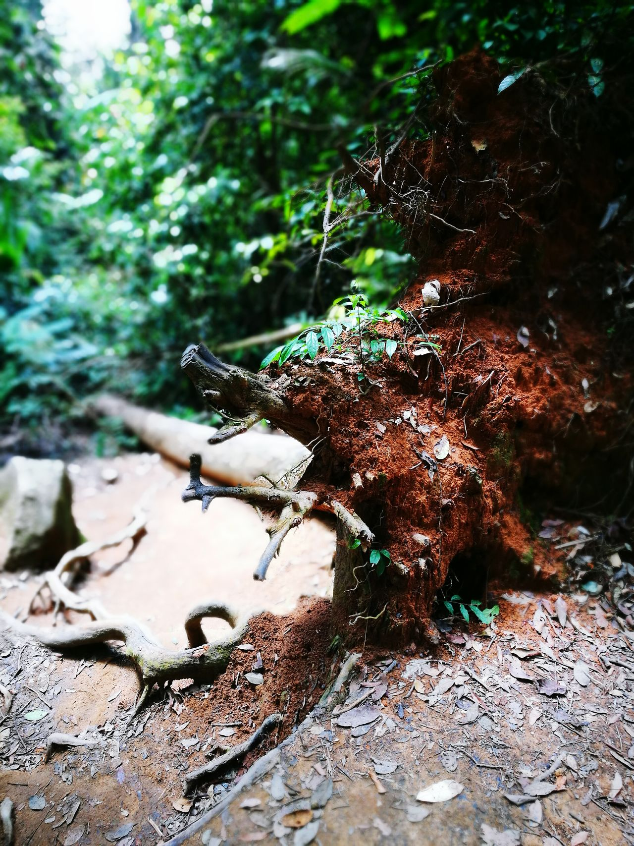 Forest Tree Nature Outdoors Day Beauty In Nature No People EyeEmNewHere Hiking Hiking Trail Fallen Tree HuaweiP9 P9leica Fragility Tree Leaf Roots Of Tree Green Color