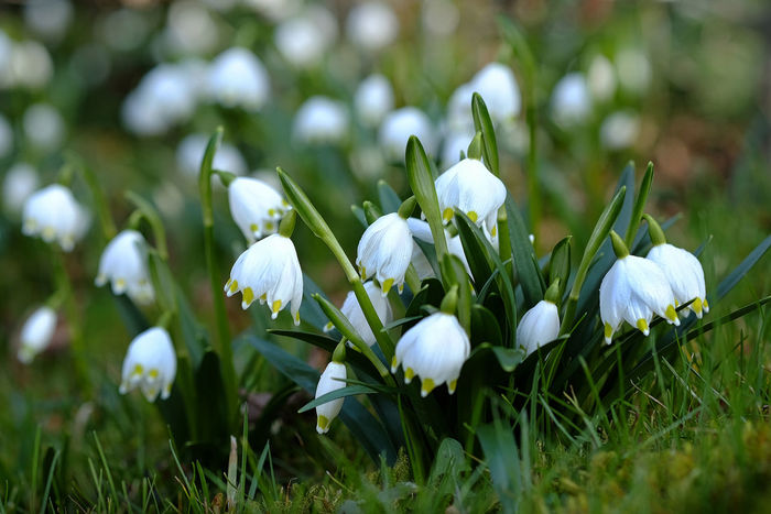 Frühjahr Frühlingsblümchen Beauty In Nature Blooming Close-up Day Flower Flower Head Fragility Freshness Green Color Growth Märzenbecher Nature No People Outdoors Petal Plant Snowdrop Springtime White Color