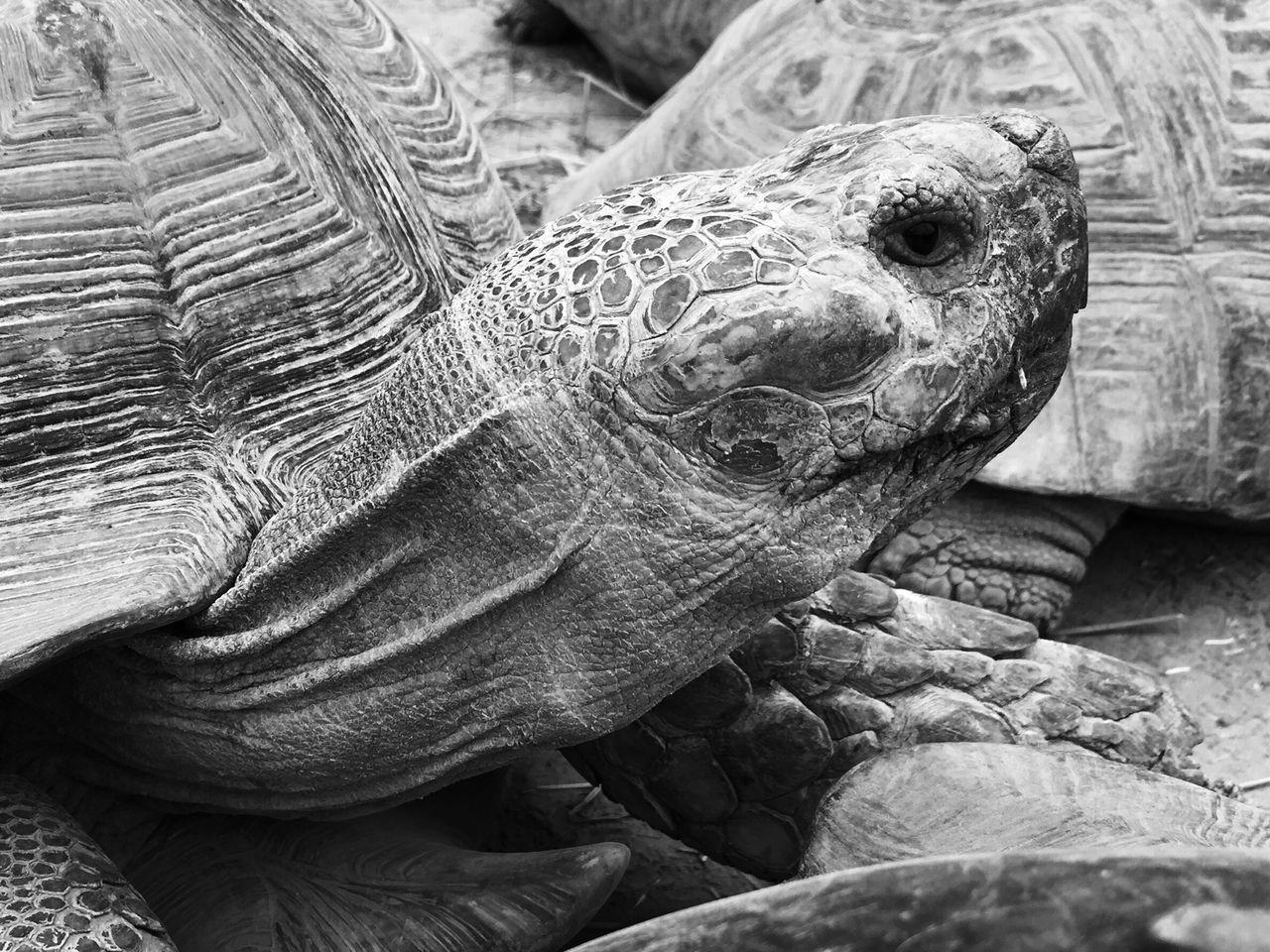 Giant Tortoises On Field