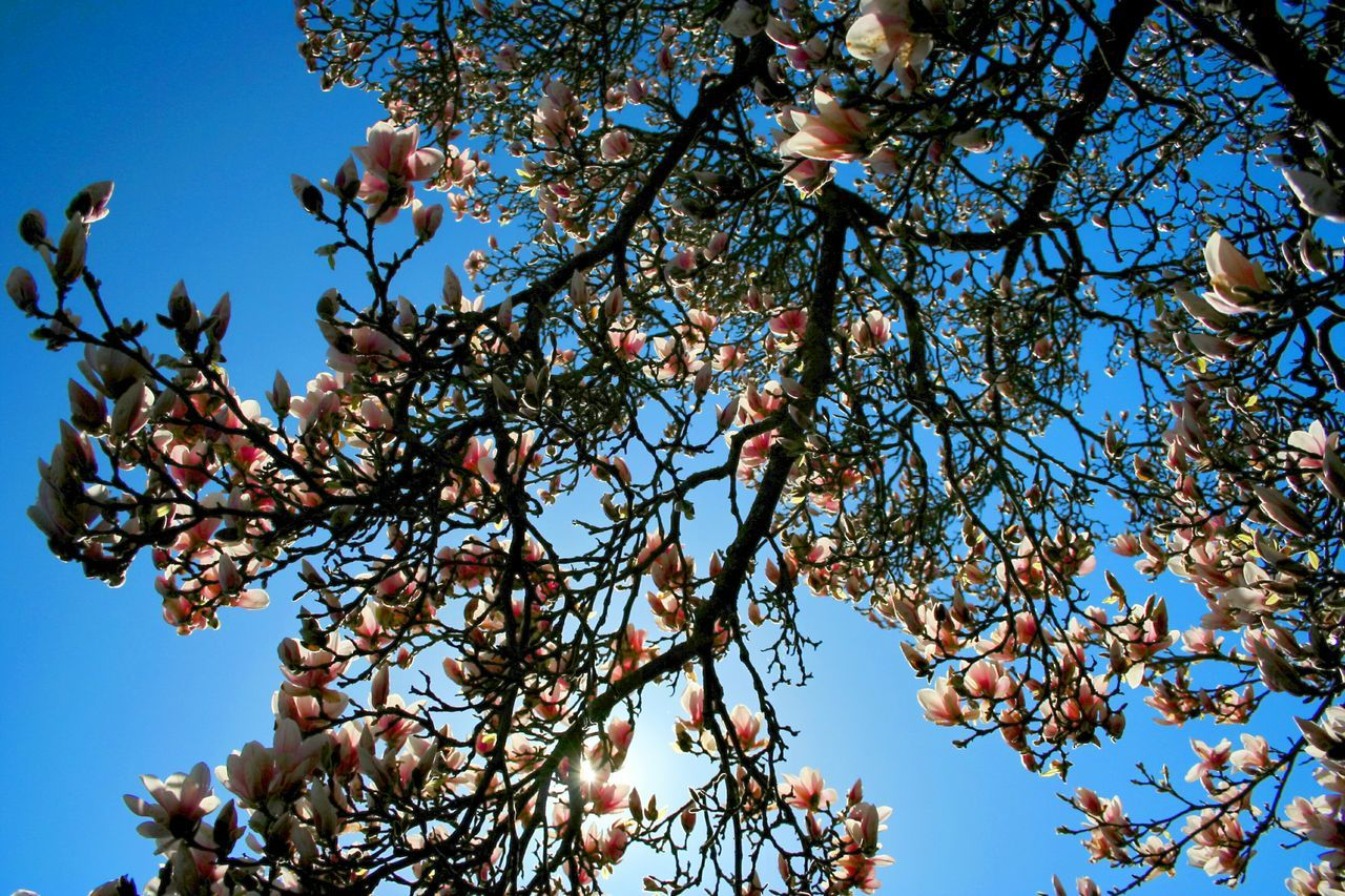 Beautiful stock photos of magnolia, Blossom, Clear Sky, Day, Flower