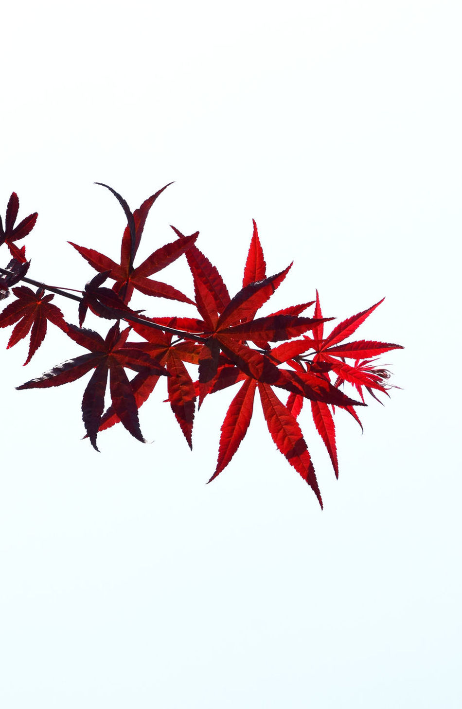 Autumn Change Clear Sky Close-up Copy Space Day Leaf Maple Maple Leaf Nature No People Outdoors Red Studio Shot White Background