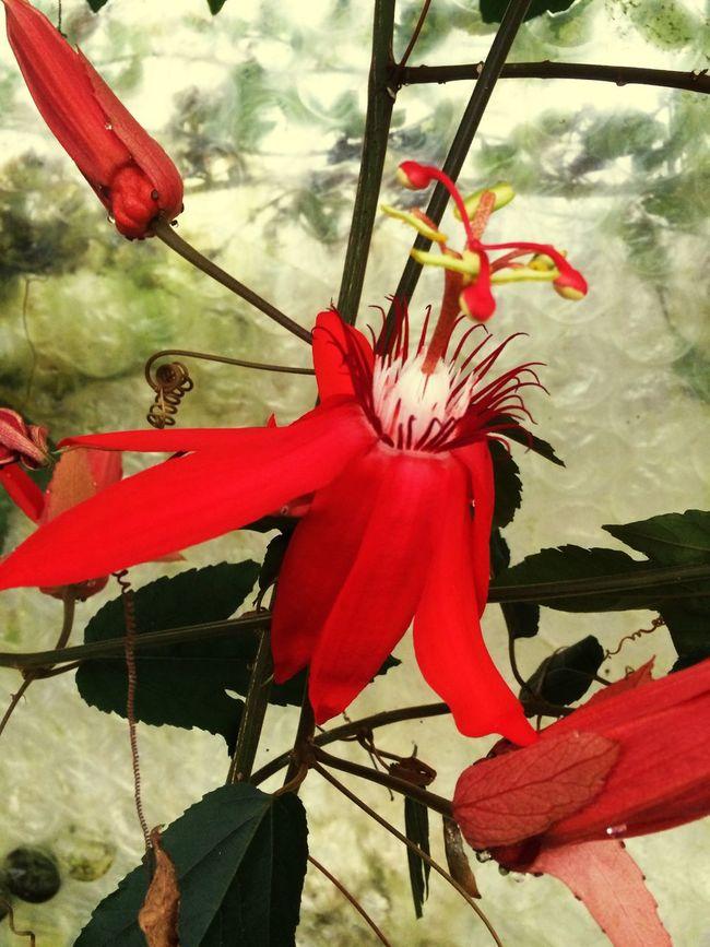 Passiflora Model Plant Plants Nature Flower Art Red Yellow