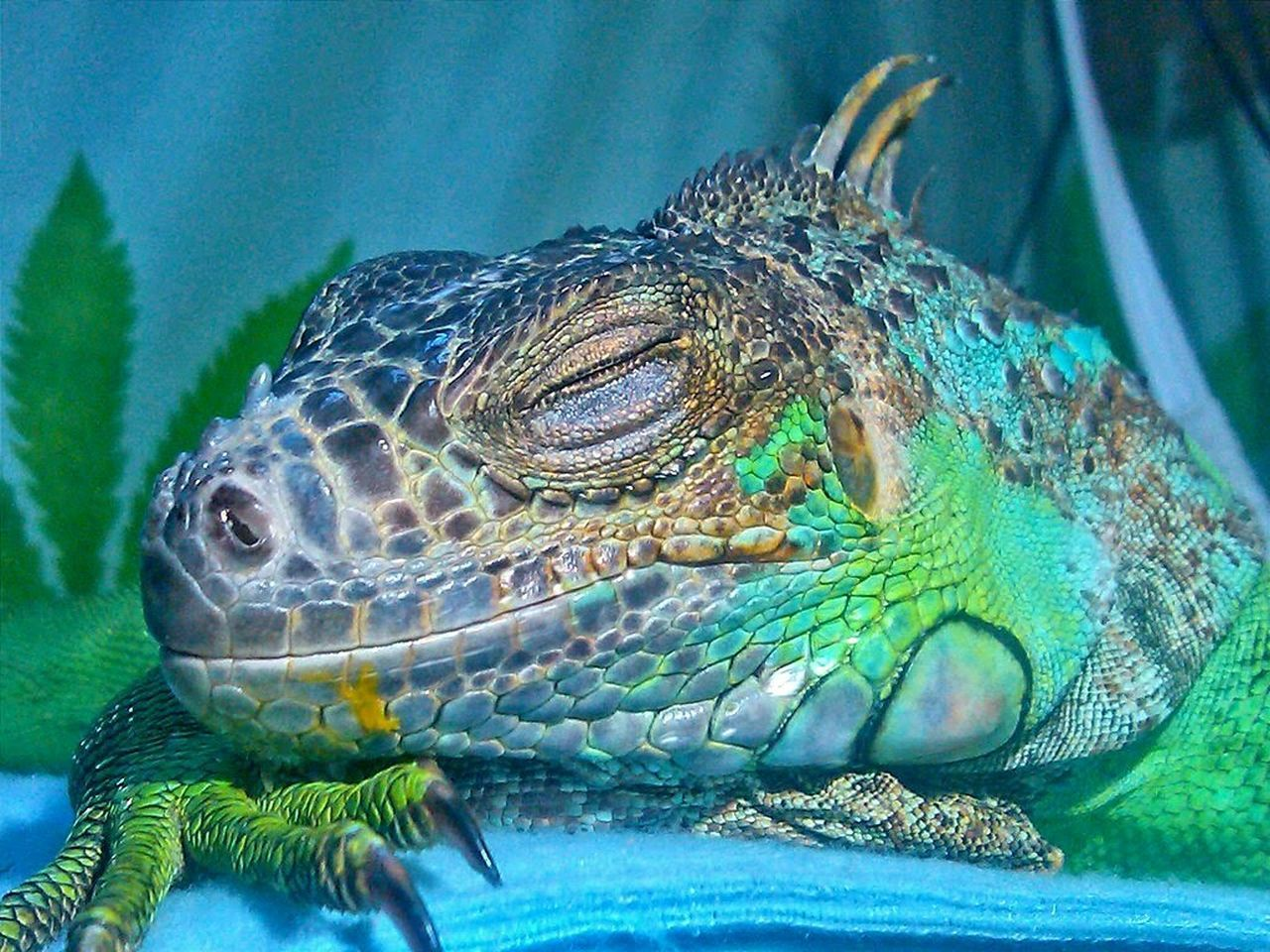 My Sweet little Mango Face.. She passed away last year, this has always been one of my favorite photos of her. RIP, Equanimity 💔 Greeniguana Iguana Greenlizard Iggies Mangolover Vegetarian Reptile Reptile World Reptilecollection Scales Scaley Sleeping Sleepingpets Iguanas D'aww Howsweet Check This Out Lizard
