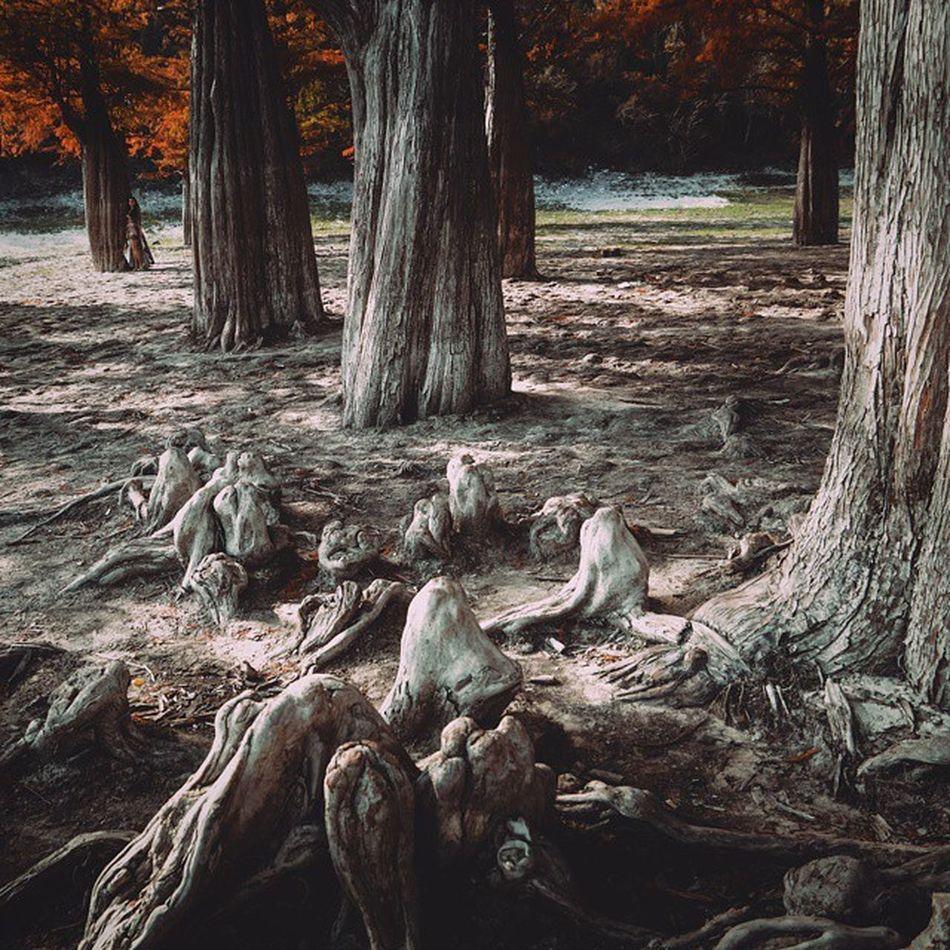 Застарелые суставы древней казались свету🍁 (болотныекипарисы на озере в пос. Сукко ) Wigandt_photo Wigandtphoto Wigandt Sonyalpha Minolta Russia Россия Анапа Anapa Photorussia TravellingRussia