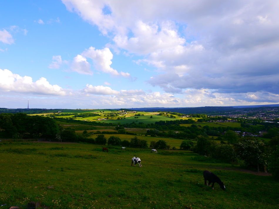 Animal Themes Beauty In Nature Cattle Cloud - Sky Cow Day Domestic Animals Emley Moor Field Grass Grazing Green Color Huddersfield June June 2017 Landscape Mammal Nature No People Outdoors Pasture Scenics Sky Tranquil Scene Tranquility