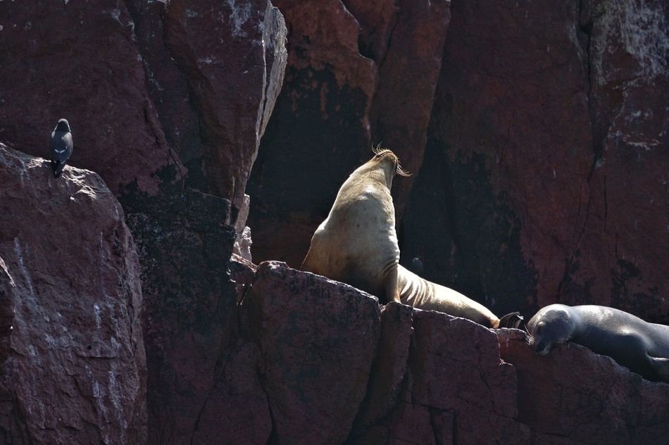 Sea lions chilling at the Ballestras islands in Peru Sealion  Island Paracas Ballestras Wildlife Wildlife & Nature photography