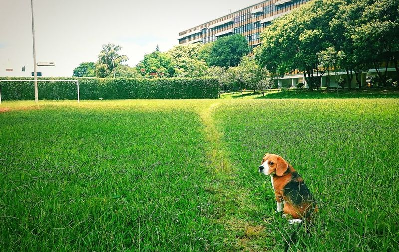 Beagle Dog Nature City Urban EyeEm Capture The Moment Contrasts Animal Themes Domestic Animals Pets Beagles Of Eyyem Beauty In Nature Beagle Dog Beaglelovers Wallpaper