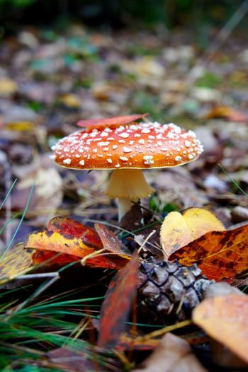 Outdoors Nature Leaf Mushroom Fungus Autumn Red Close-up Beauty In Nature No People Poisonous Spotted Toadstool Autumn🍁🍁🍁