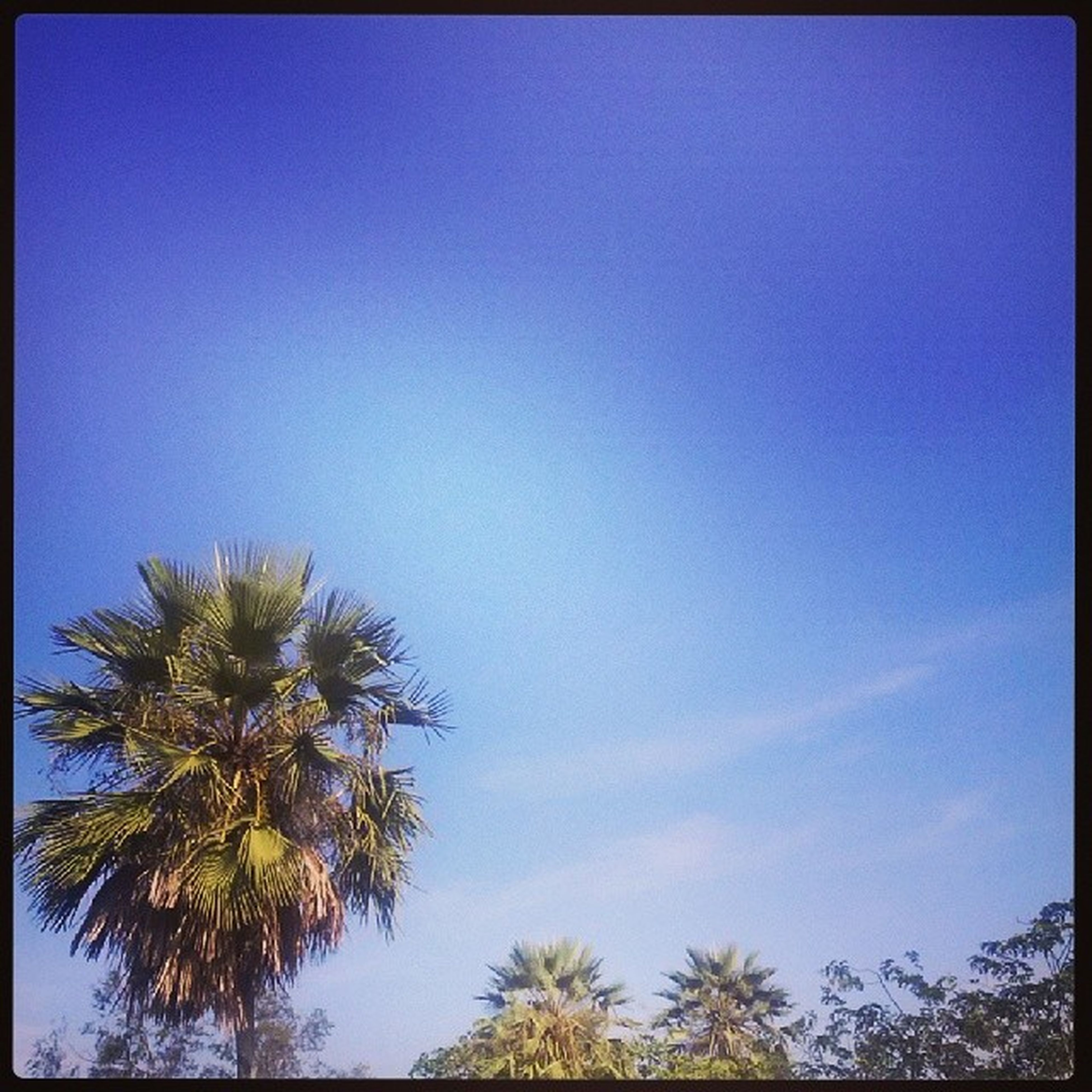 transfer print, blue, low angle view, tree, auto post production filter, clear sky, palm tree, copy space, growth, beauty in nature, nature, tranquility, sky, scenics, tranquil scene, high section, outdoors, no people, day, treetop