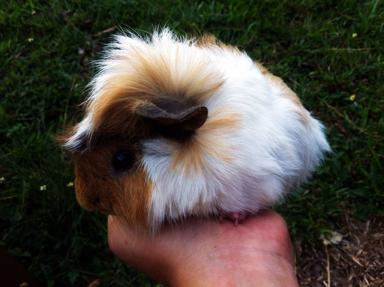 Beautiful stock photos of guinea-pigs, Animal Themes, Cropped, Day, Guinea Pig