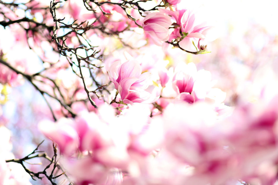 Backgrounds Beauty In Nature Blossom Cherry Tree Day Flower Fragility Freshness Magnolia Pink Color Plum Blossom Springtime Tree